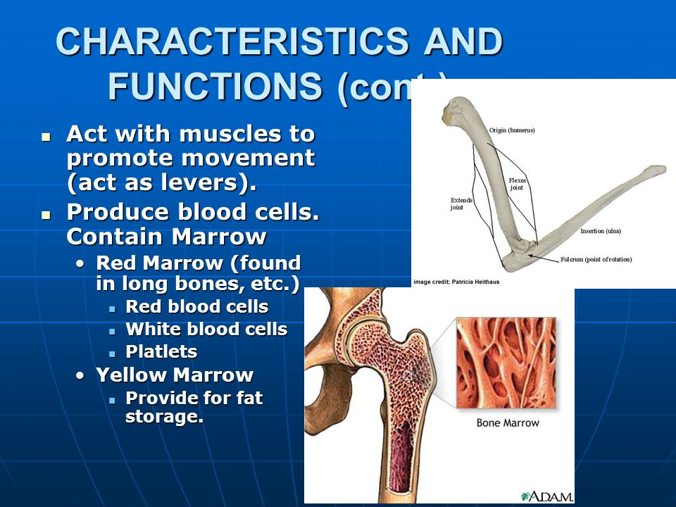 CHARACTERISTICS AND FUNCTIONS Bones are the organs of the skeletal system.