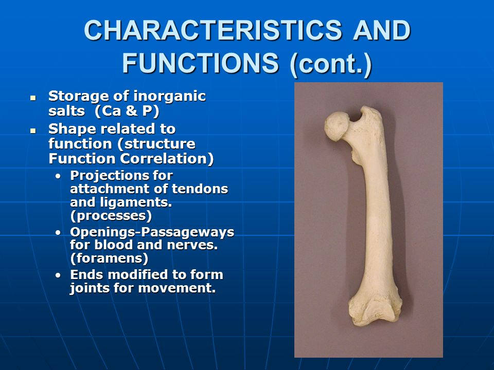 CHARACTERISTICS AND FUNCTIONS (cont.) Act with muscles to promote movement (act as levers).