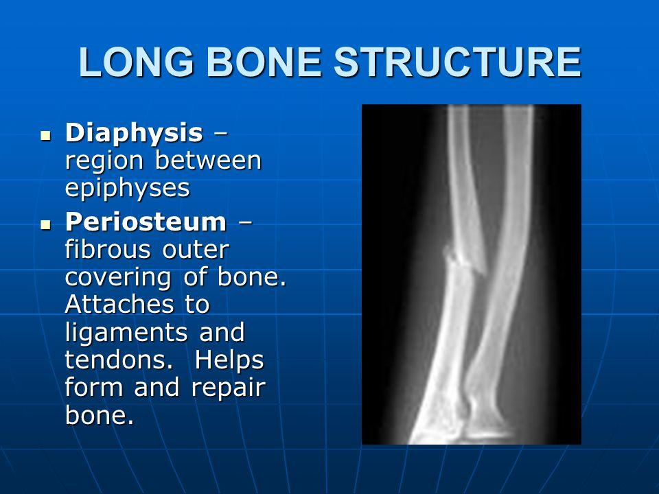 LONG BONE STRUCTURE Epiphysis – Larger portion at end of bone.