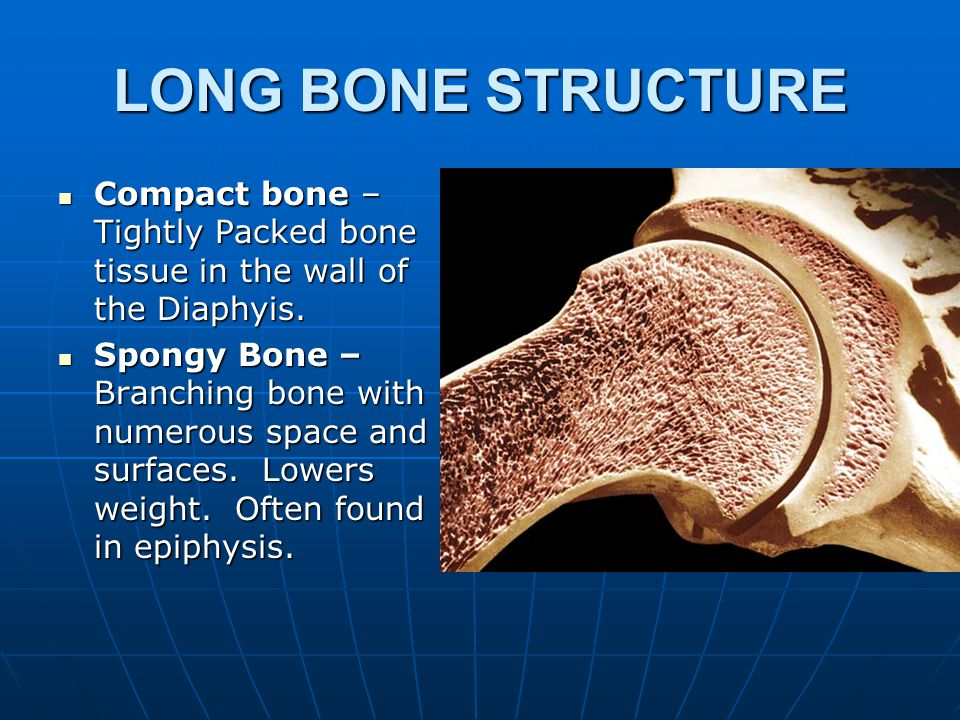 LONG BONE STRUCTURE Diaphysis – region between epiphyses Diaphysis – region between epiphyses Periosteum – fibrous outer covering of bone.