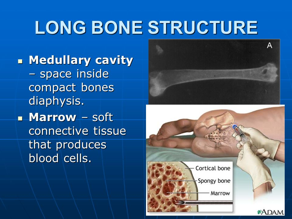 LONG BONE STRUCTURE Compact bone – Tightly Packed bone tissue in the wall of the Diaphyis.