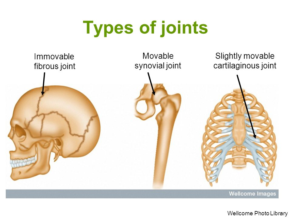 Types of joints Wellcome Photo Library Immovable fibrous joint Slightly movable cartilaginous joint Movable synovial joint