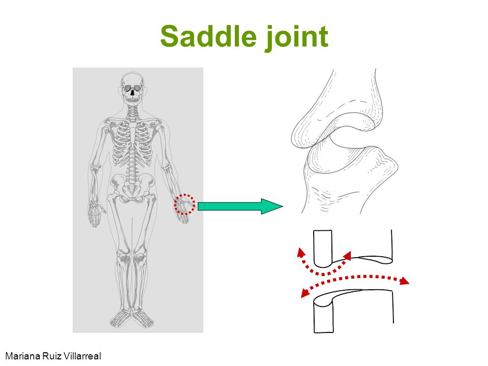 Saddle joint Mariana Ruiz Villarreal