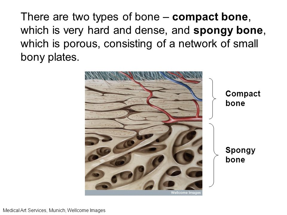 There are two types of bone – compact bone, which is very hard and dense, and spongy bone, which is porous, consisting of a network of small bony plates.