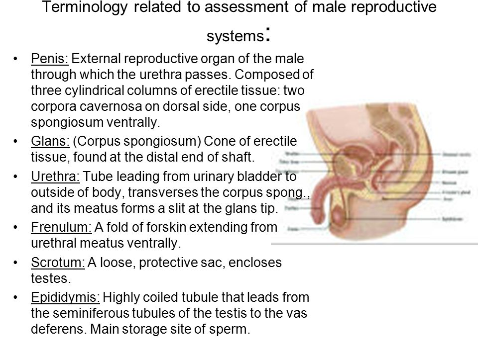 Terminology related to assessment of male reproductive systems : Penis: External reproductive organ of the male through which the urethra passes. Comp