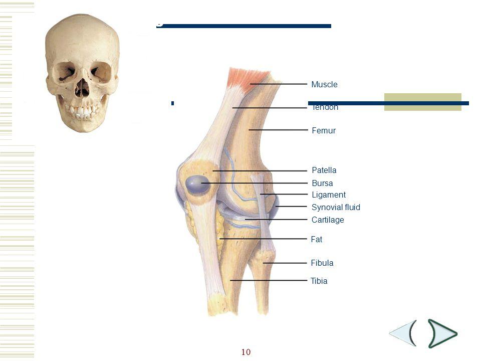 10 Muscle Tendon Femur Patella Bursa Ligament Synovial fluid Cartilage Fat Fibula Tibia Figure 36-5 Knee Joint Section 36-1