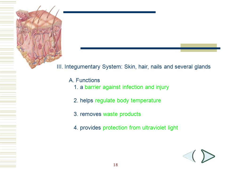 18 Section 36-3 III. Integumentary System: Skin, hair, nails and several glands A. Functions 1. a barrier against infection and injury 2. helps regula