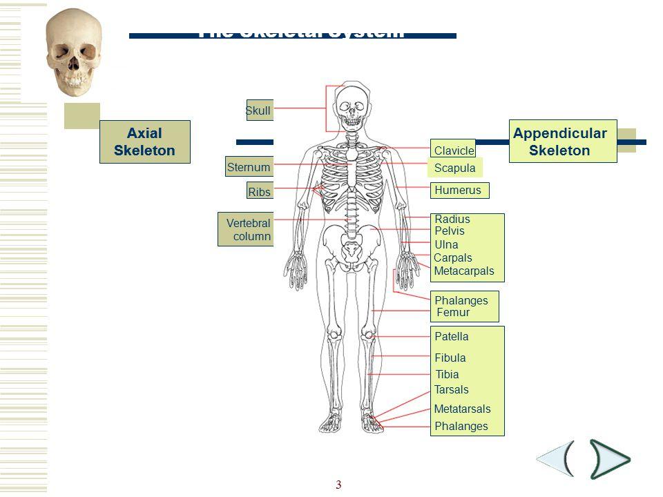 3 Skull Sternum Ribs Vertebral column The Skeletal System Section 36-1 Axial Skeleton Appendicular Skeleton Metatarsals Metacarpals Phalanges Clavicle