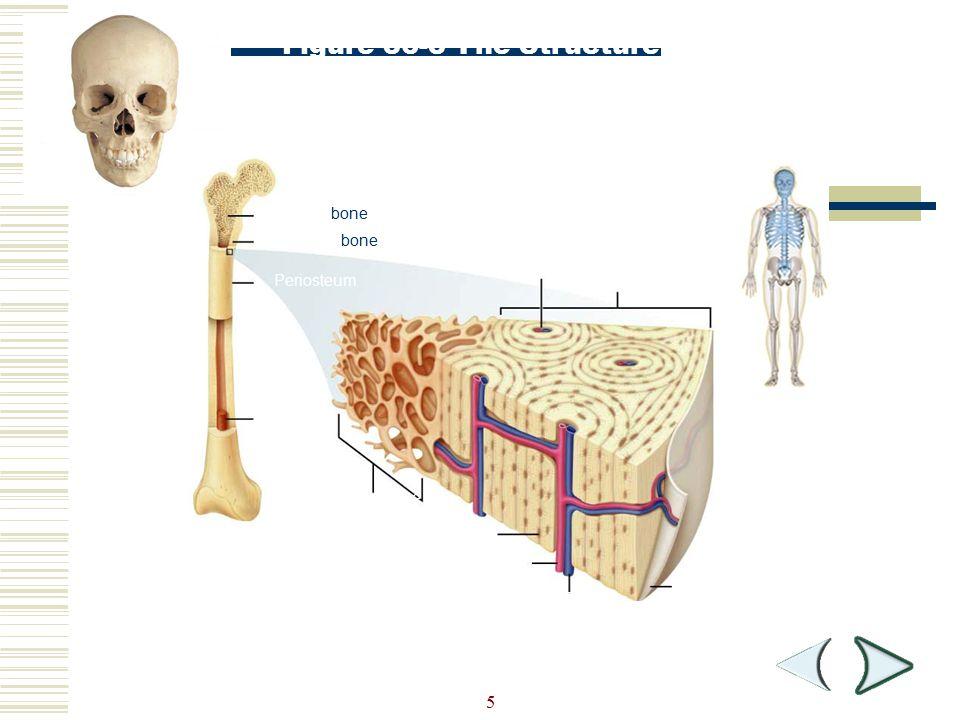 5 Spongy bone Compact bone Periosteum Bone marrow Haversian canal Compact bone Spongy bone Osteocyte Artery Vein Periosteum Figure 36-3 The Structure