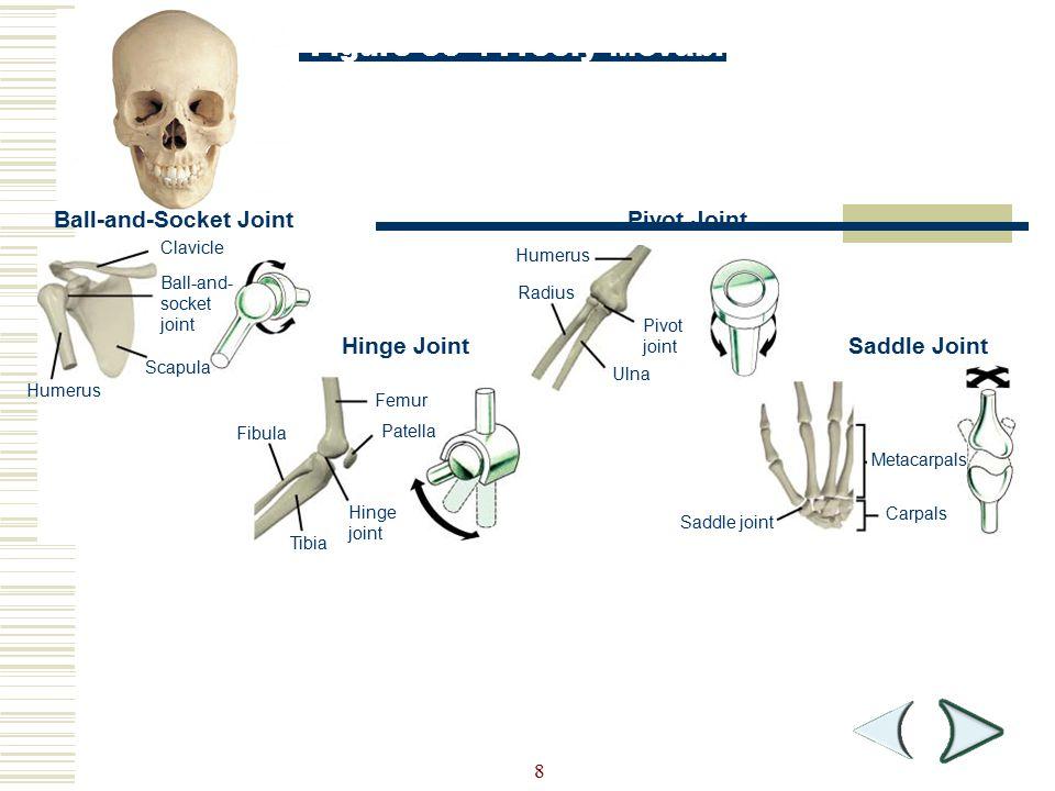 8 Ball-and-Socket Joint Hinge Joint Pivot Joint Saddle Joint Clavicle Ball-and- socket joint Scapula Humerus Femur Patella Hinge joint Tibia Fibula Hu