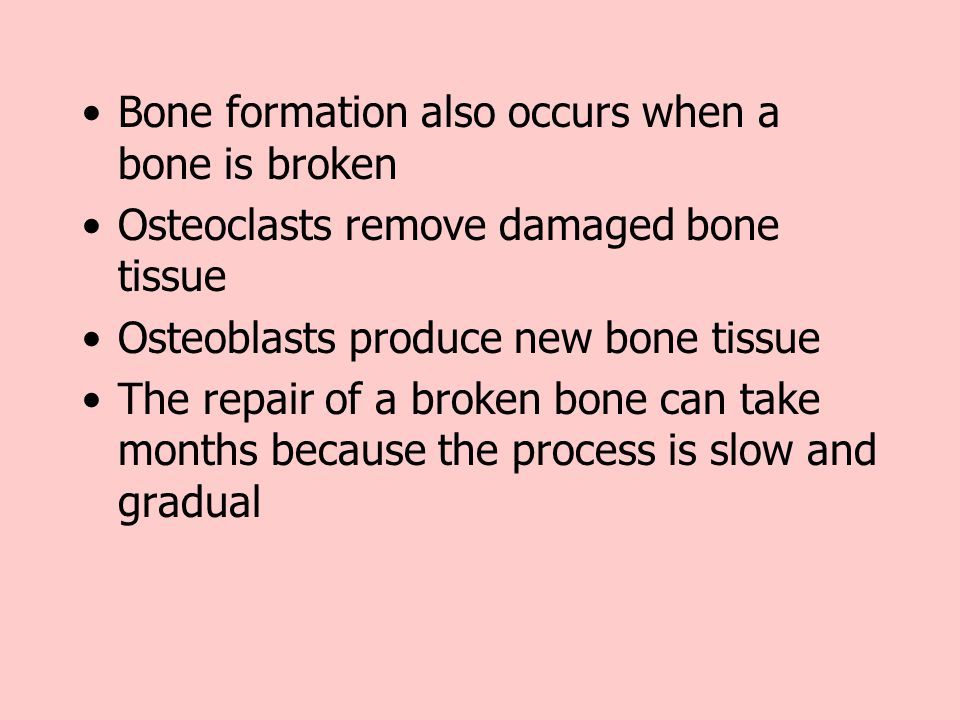 Bone formation also occurs when a bone is broken Osteoclasts remove damaged bone tissue Osteoblasts produce new bone tissue The repair of a broken bon