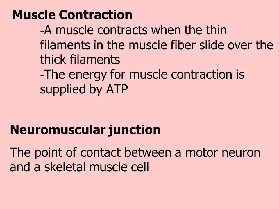 Muscle Contraction - A muscle contracts when the thin filaments in the muscle fiber slide over the thick filaments - The energy for muscle contraction