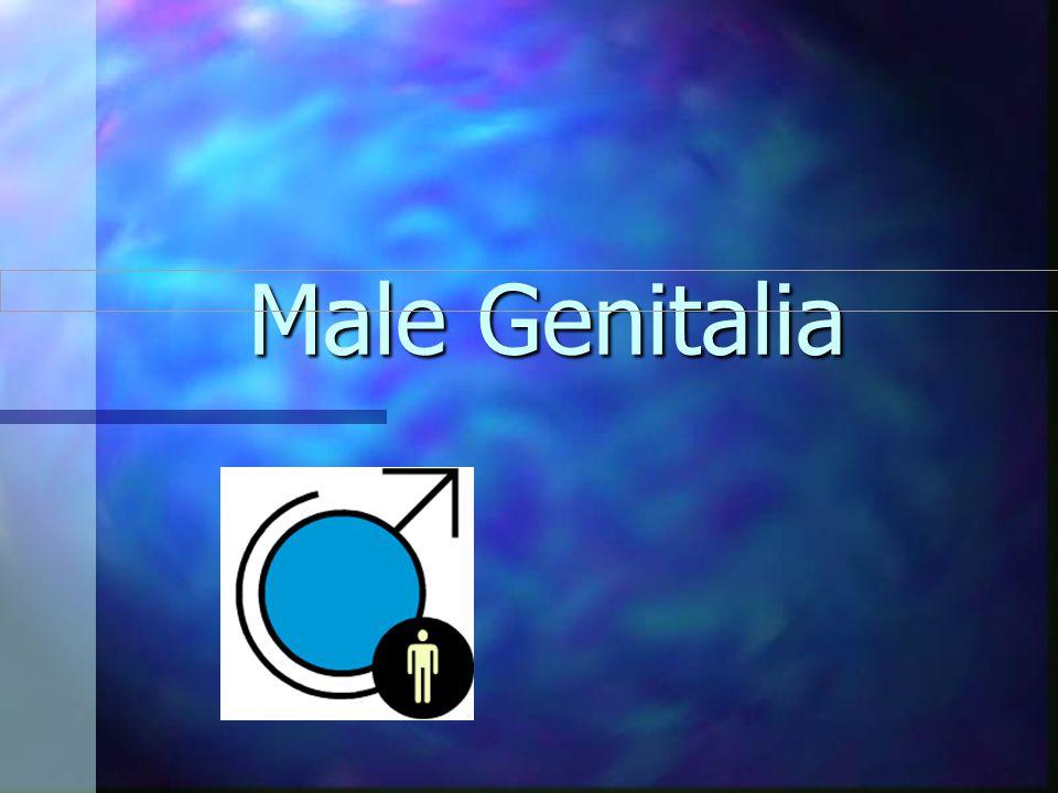 Male Genitalia