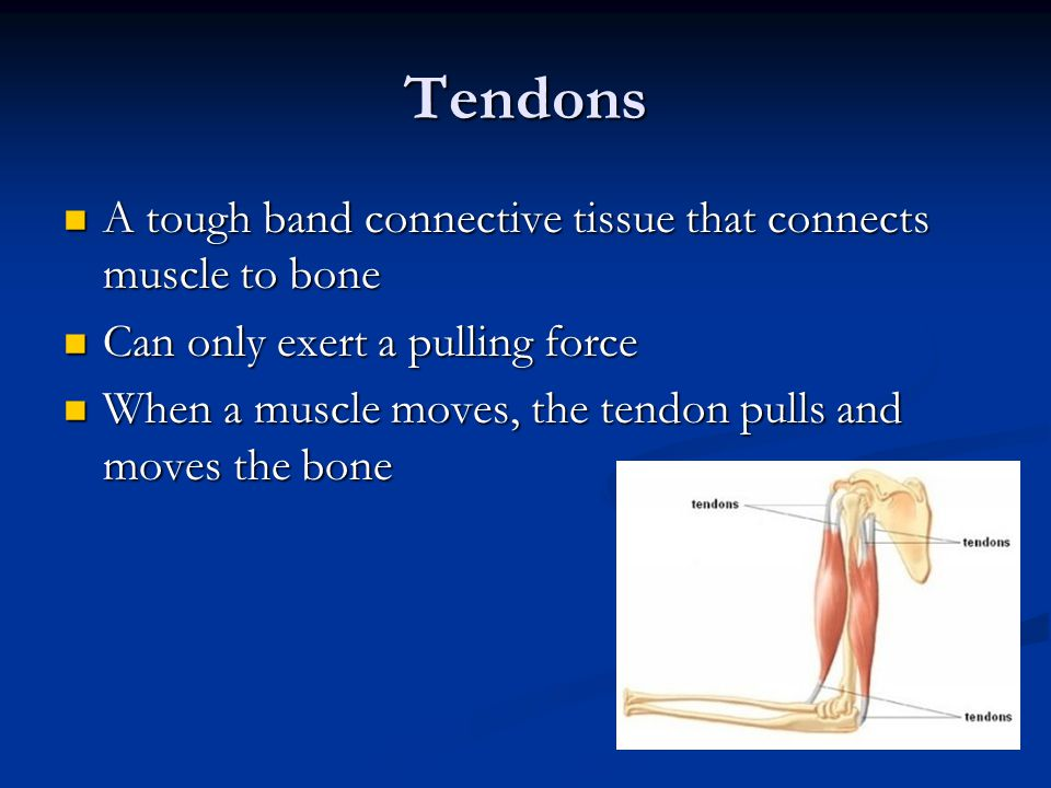 Tendons A tough band connective tissue that connects muscle to bone A tough band connective tissue that connects muscle to bone Can only exert a pulli