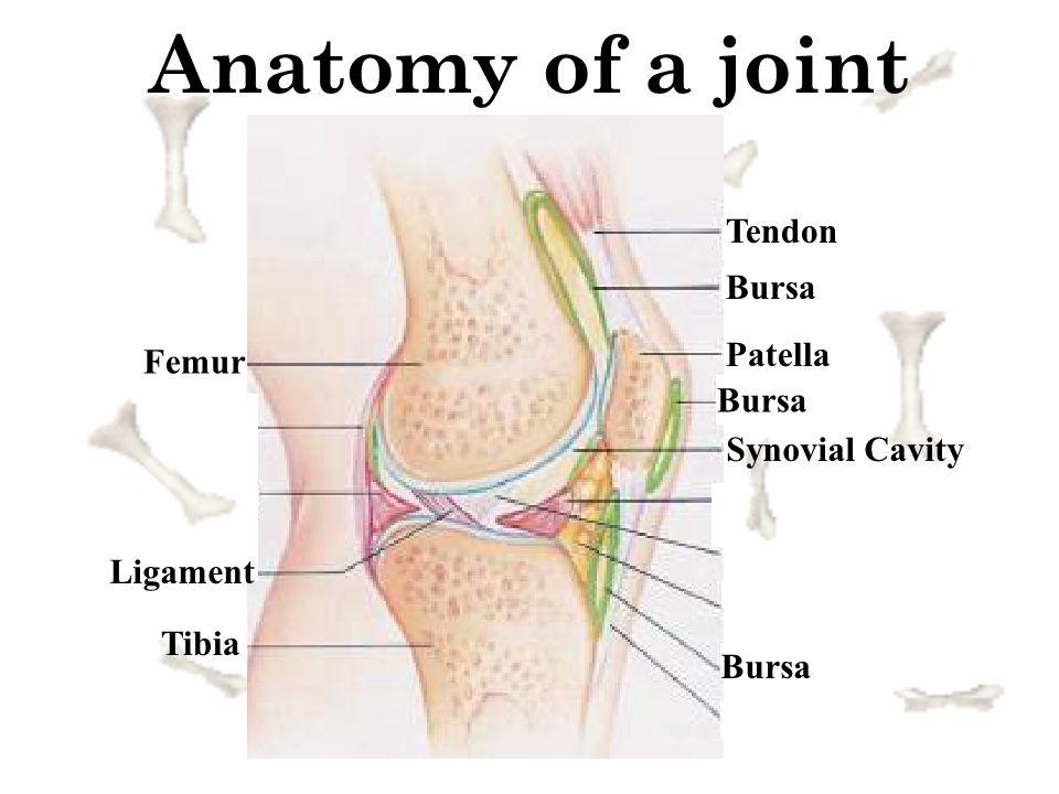 Anatomy of a joint Tendon Bursa Patella Femur Tibia Ligament Synovial Cavity