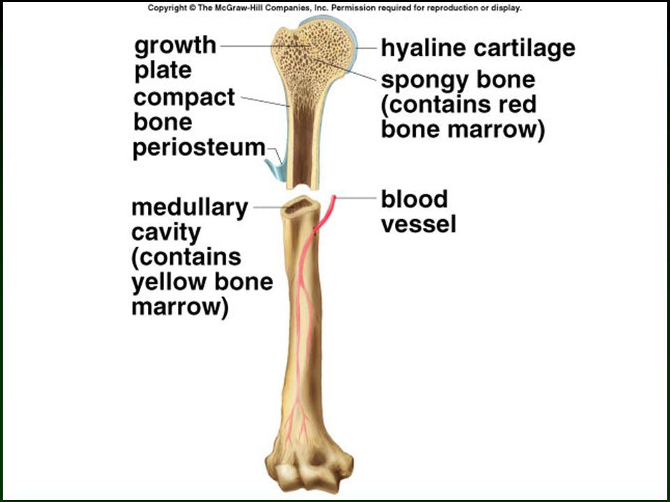 18 Bone Fracture and Repair
