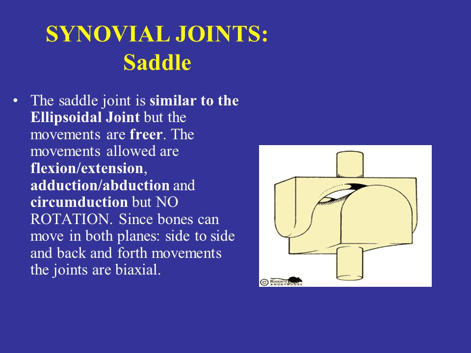 SYNOVIAL JOINTS: Saddle The saddle joint is similar to the Ellipsoidal Joint but the movements are freer.