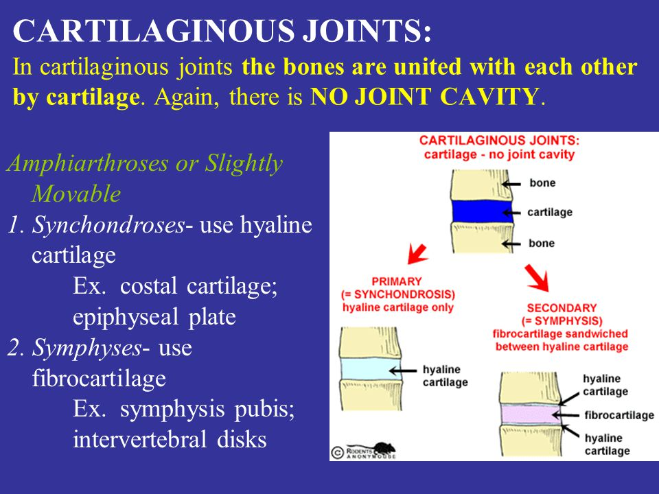 CARTILAGINOUS JOINTS: In cartilaginous joints the bones are united with each other by cartilage.