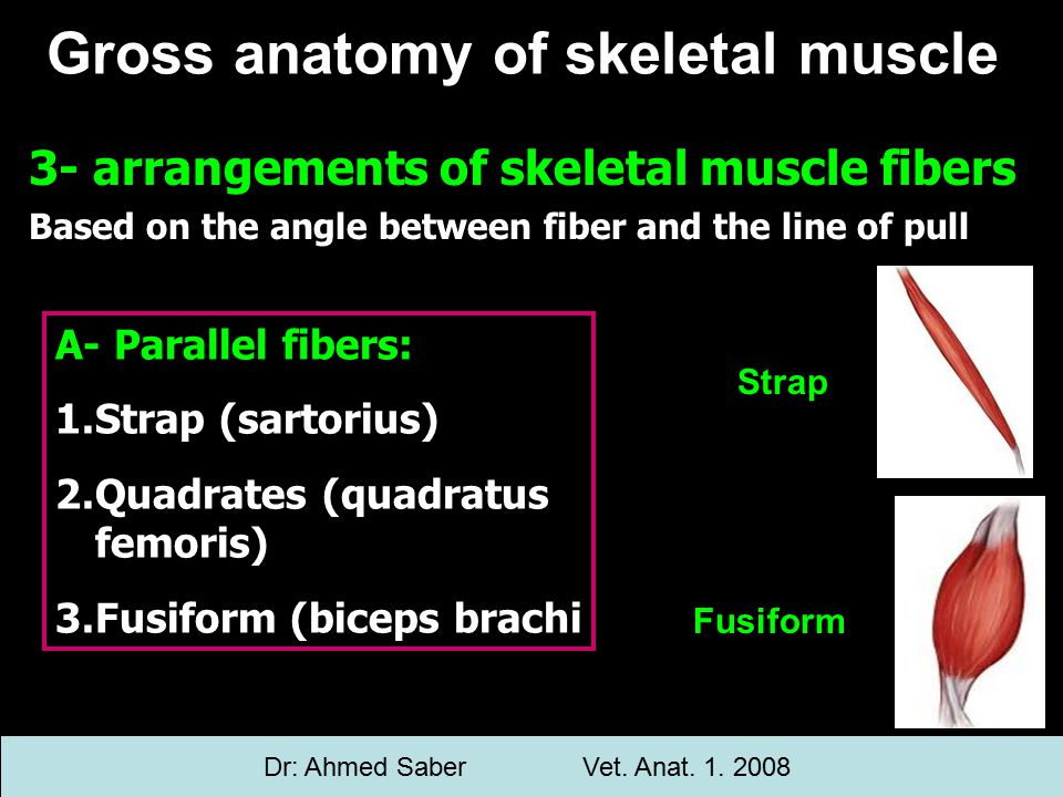 3- arrangements of skeletal muscle fibers Based on the angle between fiber and the line of pull Gross anatomy of skeletal muscle A- Parallel fibers: 1.Strap (sartorius) 2.Quadrates (quadratus femoris) 3.Fusiform (biceps brachi Strap Fusiform Dr: Ahmed SaberVet.