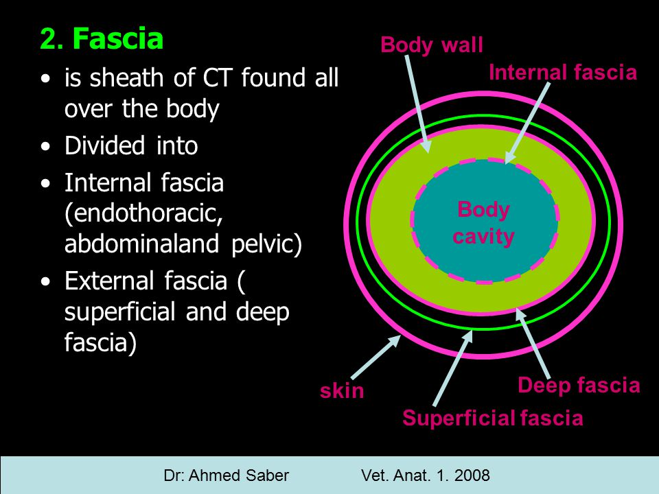 2. Fascia is sheath of CT found all over the body Divided into Internal fascia (endothoracic, abdominaland pelvic) External fascia ( superficial and d