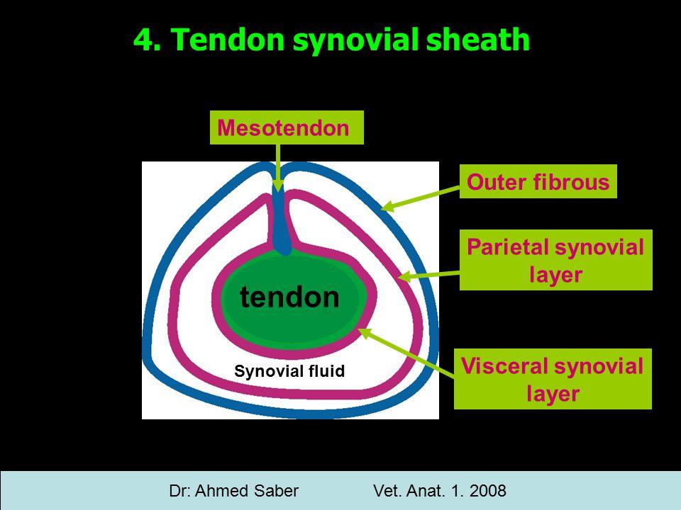 tendon Outer fibrous Mesotendon Parietal synovial layer Visceral synovial layer Synovial fluid 4.