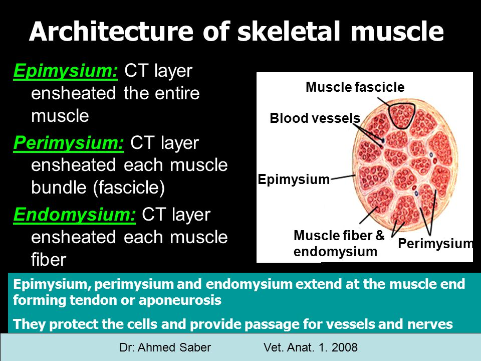 Epimysium: CT layer ensheated the entire muscle Perimysium: CT layer ensheated each muscle bundle (fascicle) Endomysium: CT layer ensheated each muscle fiber Architecture of skeletal muscle Muscle fascicle Blood vessels Epimysium Muscle fiber & endomysium Perimysium Epimysium, perimysium and endomysium extend at the muscle end forming tendon or aponeurosis They protect the cells and provide passage for vessels and nerves Dr: Ahmed SaberVet.