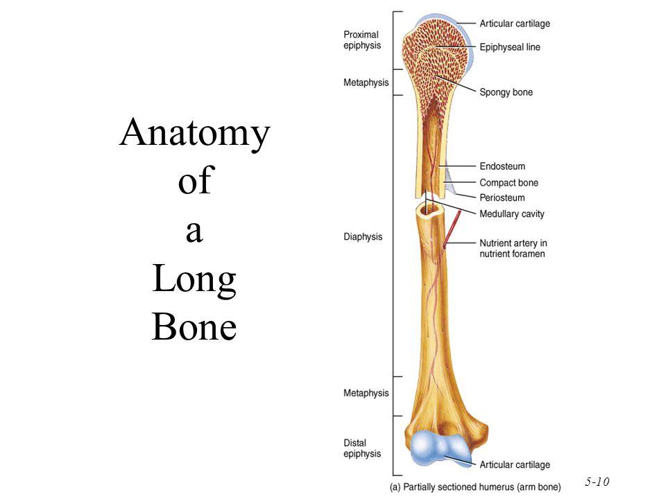 5-10 Anatomy of a Long Bone