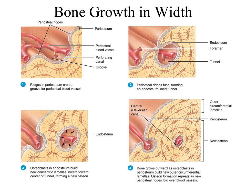 5-12 Bone Growth in Width