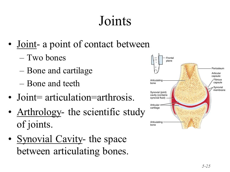 5-25 Joint- a point of contact between –Two bones –Bone and cartilage –Bone and teeth Joint= articulation=arthrosis.