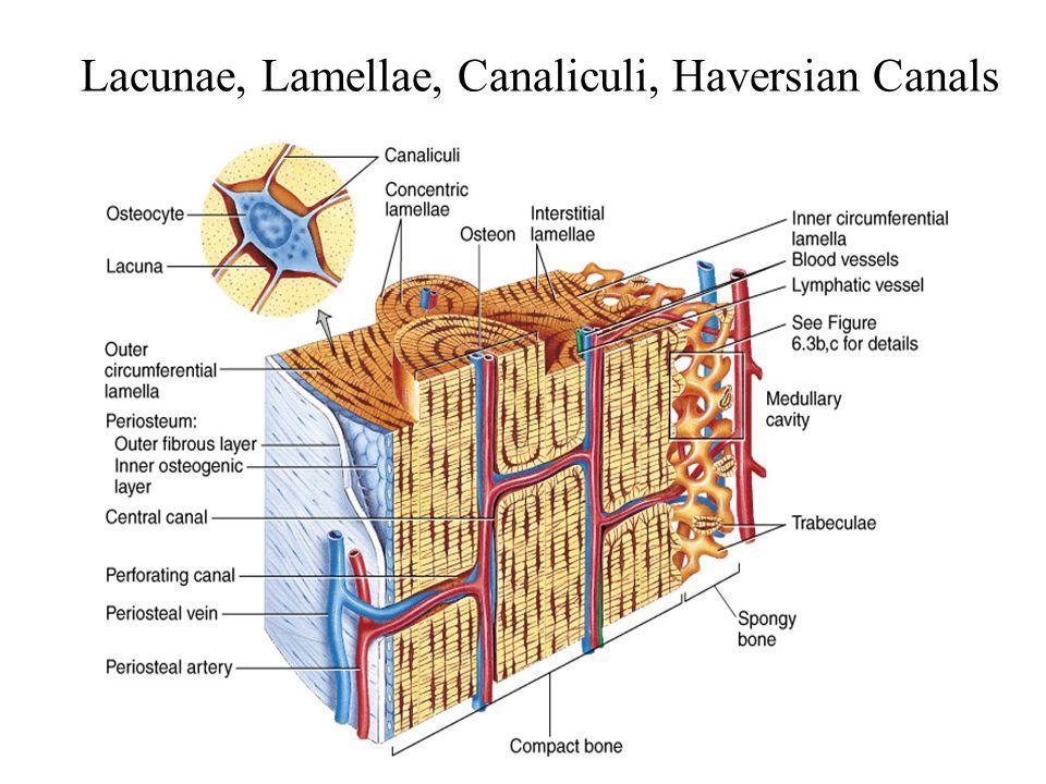 5-8 Lacunae, Lamellae, Canaliculi, Haversian Canals