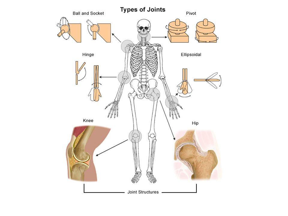 elbow interphalangeal (finger; toe) ankle (tib-fib w/ talus) knee—modified hinge