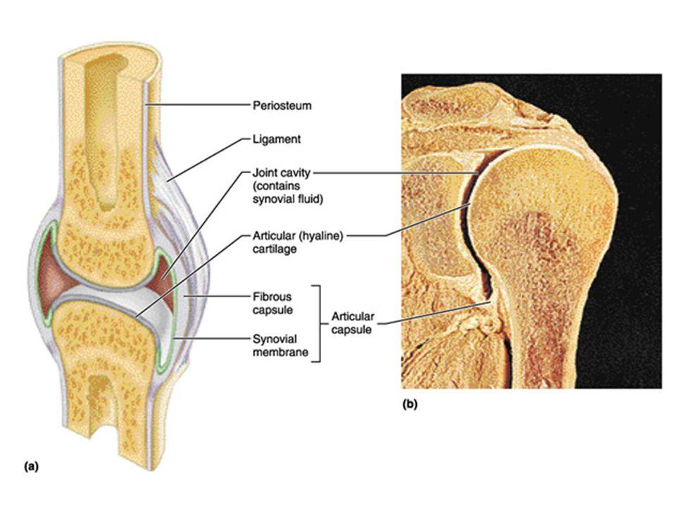 muscle vein artery femur patella fat pad ligament tibia