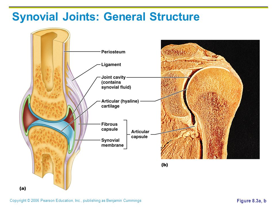 Copyright © 2006 Pearson Education, Inc., publishing as Benjamin Cummings Synovial Joints: General Structure Figure 8.3a, b