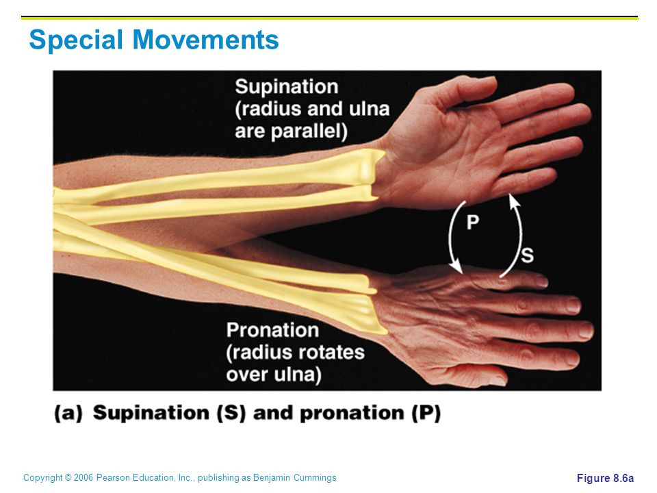 Copyright © 2006 Pearson Education, Inc., publishing as Benjamin Cummings Special Movements Figure 8.6a