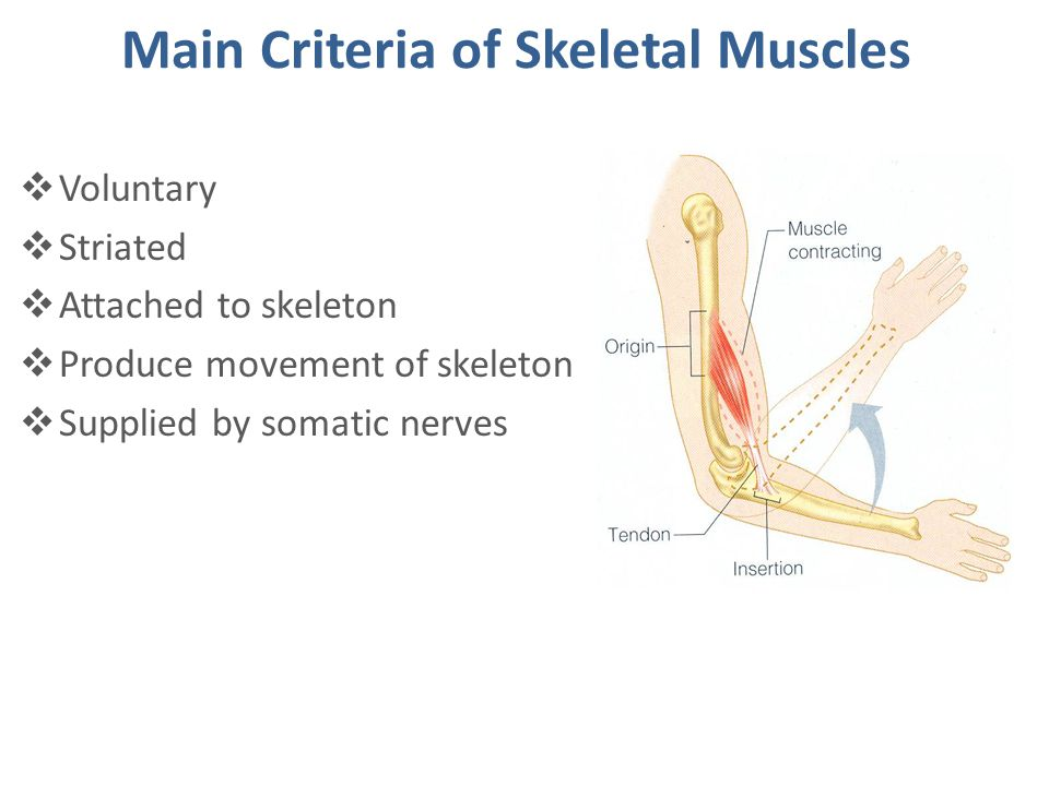 Summary  striatedvoluntaryattached to move  Skeletal muscles are striated, voluntary muscles attached to & move the skeleton.