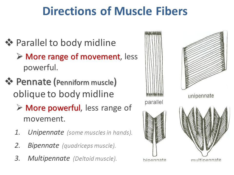 Mode of Actions  Prime mover (Agonist):  It is the chief muscle responsible for a particular movement Example: Example: Quadriceps Femoris is the prime mover for extension of the knee joint