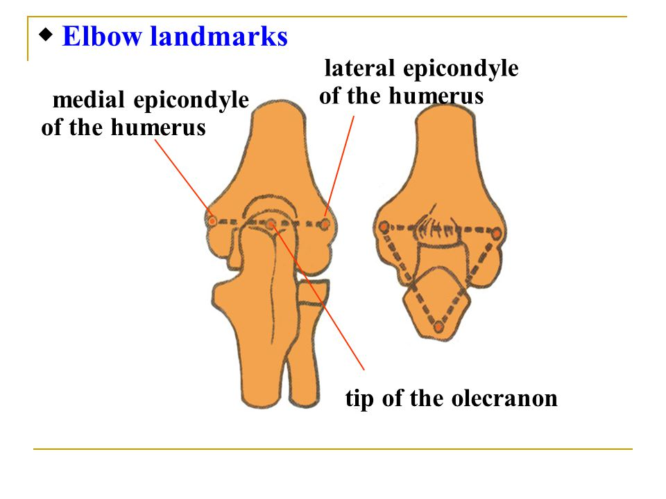 medial epicondyle of the humerus lateral epicondyle of the humerus tip of the olecranon ◆ Elbow landmarks