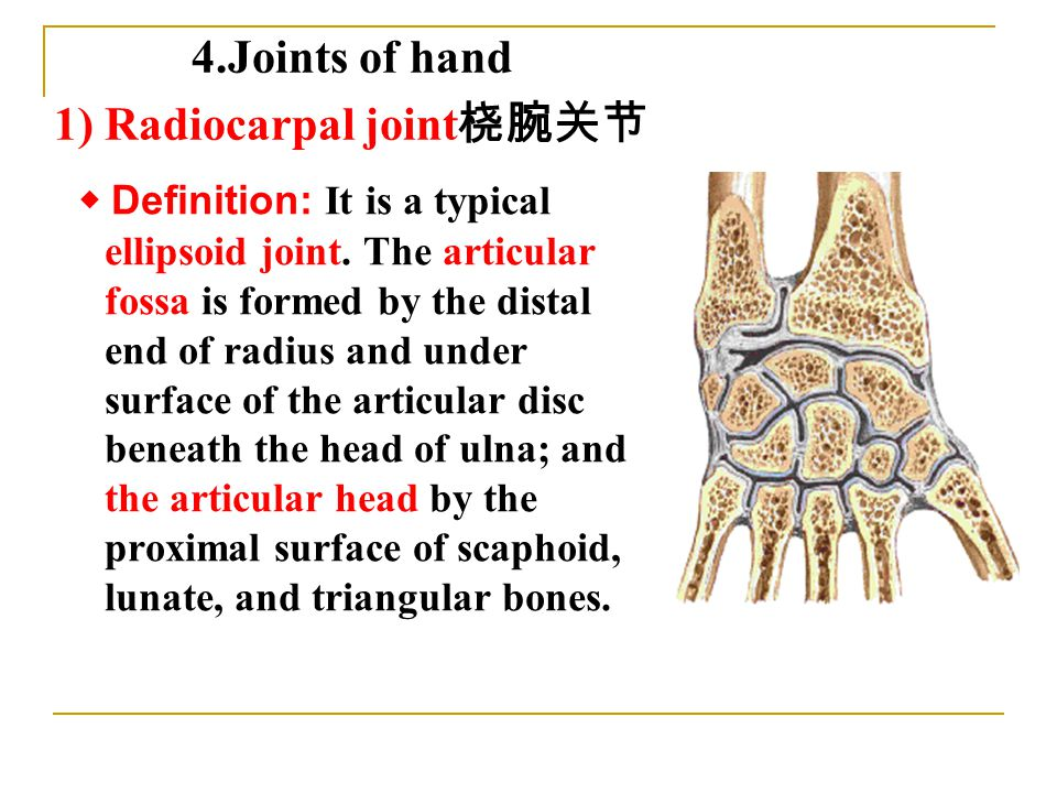 ◆ Definition: It is a typical ellipsoid joint.