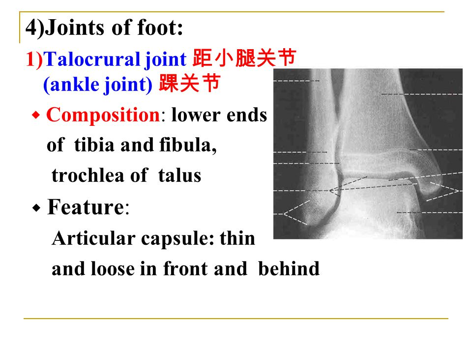 4)Joints of foot: 1)Talocrural joint 距小腿关节 (ankle joint) 踝关节 ◆ Composition: lower ends of tibia and fibula, trochlea of talus ◆ Feature: Articular capsule: thin and loose in front and behind