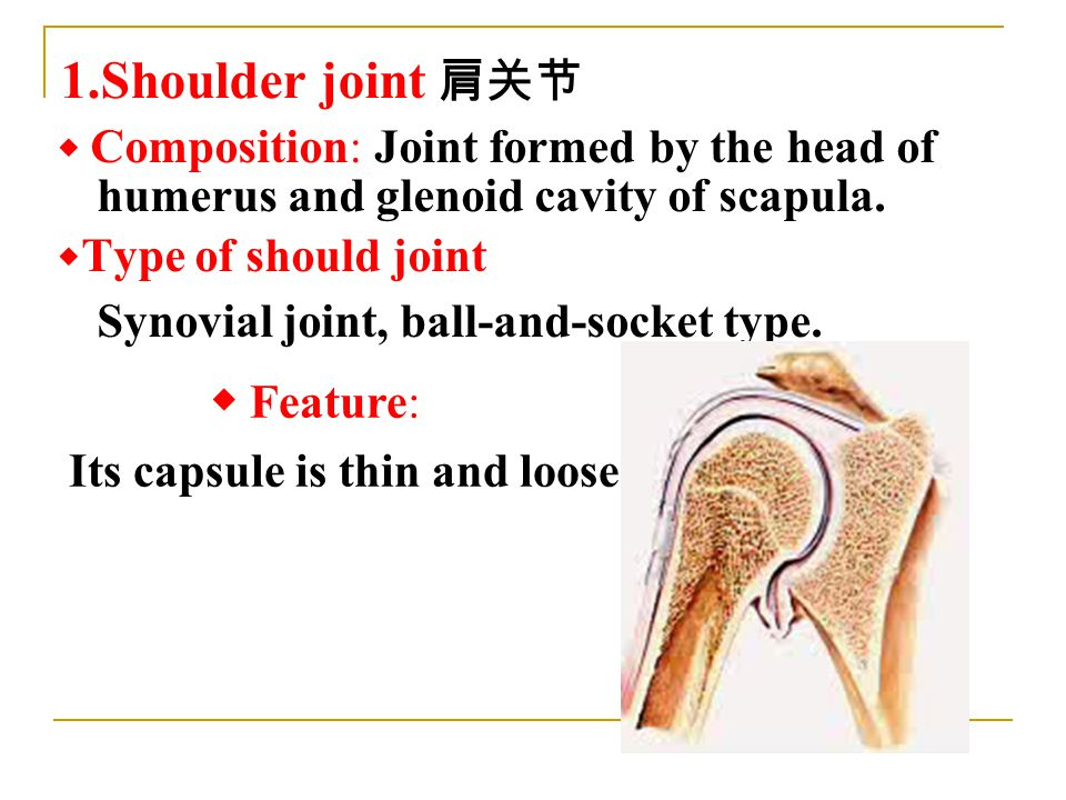 ◆ Composition: Joint formed by the head of humerus and glenoid cavity of scapula.