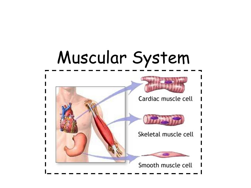 You have all the muscle fiber you will ever have at birth.
