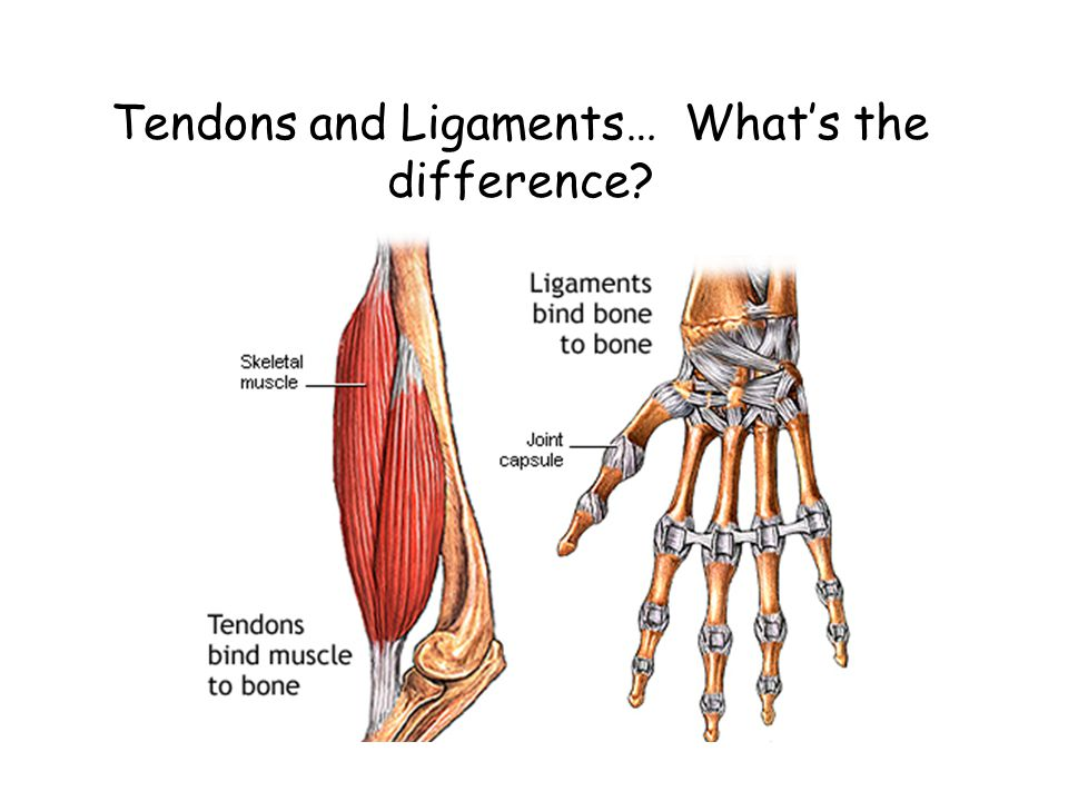 Tendons and Ligaments… What's the difference?