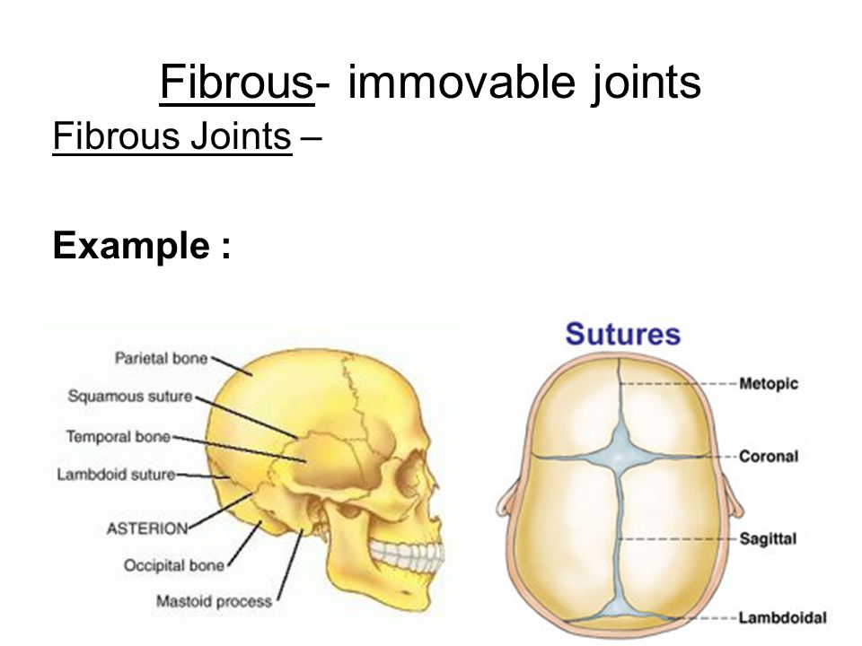 Fibrous- immovable joints Fibrous Joints – Example :