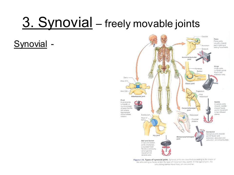 3. Synovial – freely movable joints Synovial -