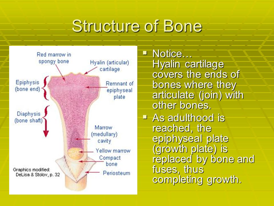 Structure of Bone  Notice… Hyalin cartilage covers the ends of bones where they articulate (join) with other bones.  As adulthood is reached, the ep
