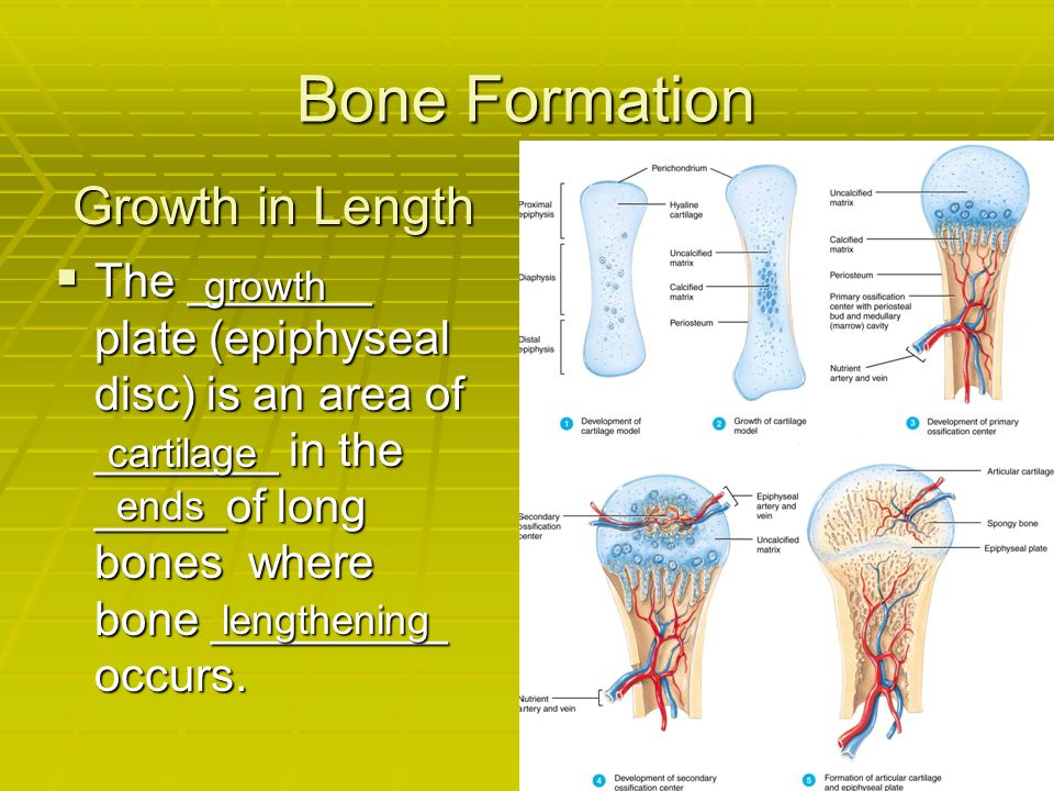 Bone Formation  The _______ plate (epiphyseal disc) is an area of _______ in the _____of long bones where bone _________ occurs. lengthening growth c