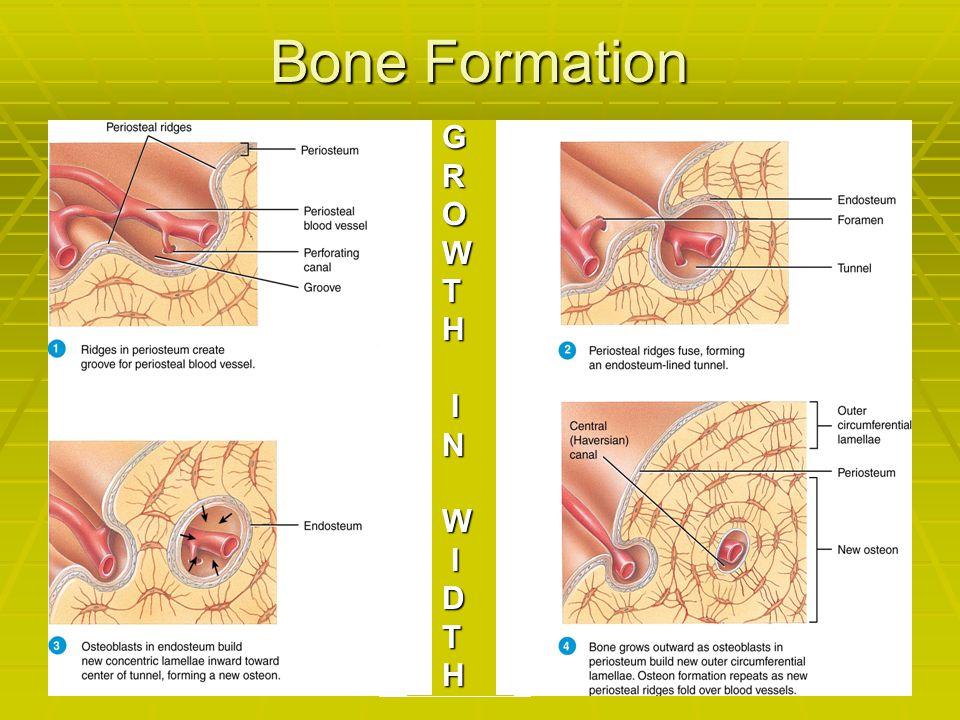 Bone Formation GROWTH INW IDTH