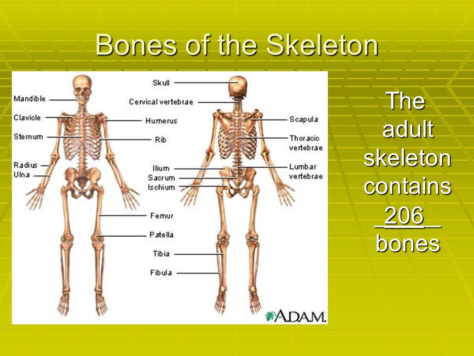 Bones of the Skeleton The adult skeleton contains _____ bones The adult skeleton contains _____ bones 206