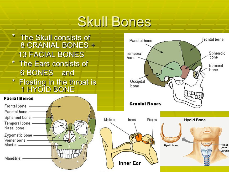 Skull Bones * The Skull consists of 8 CRANIAL BONES + 13 FACIAL BONES 13 FACIAL BONES * The Ears consists of 6 BONES and 6 BONES and * Floating in the