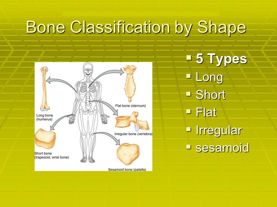 Bone Classification by Shape 5555 Types LLLLong SSSShort FFFFlat IIIIrregular ssssesamoid